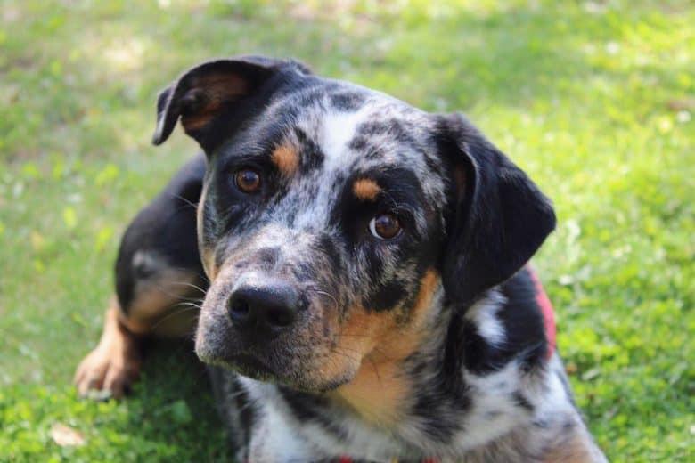 Australian Shepherd Rottweiler mix dog portrait
