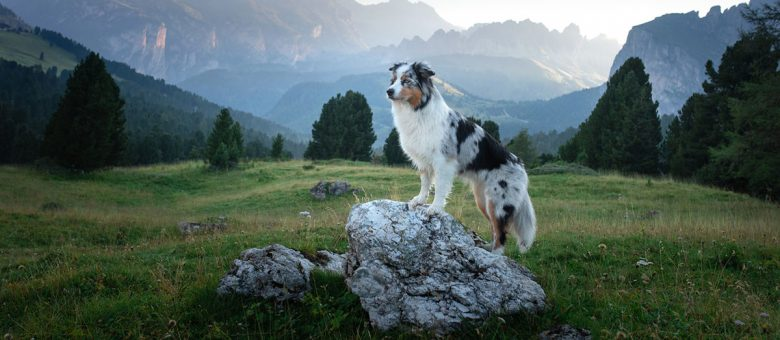 Australian Shepherd standing on a rock at the mountain