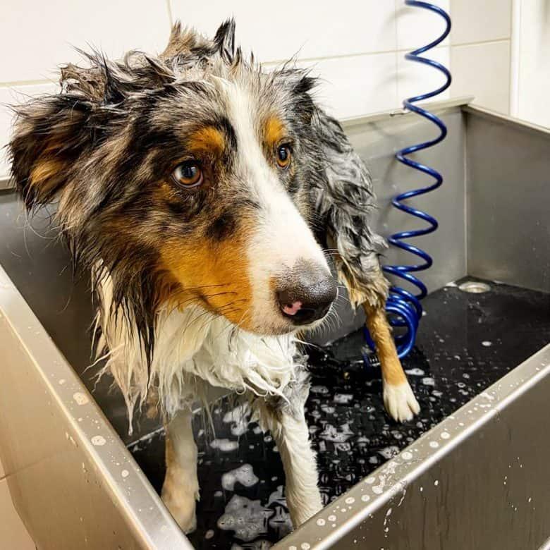 Australian Shepherd taking a bath