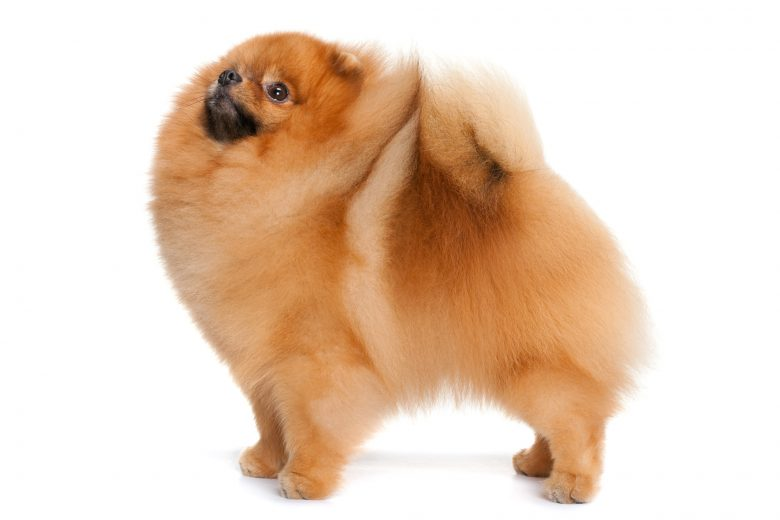 Baby Doll Face Pomeranian standing on a white background