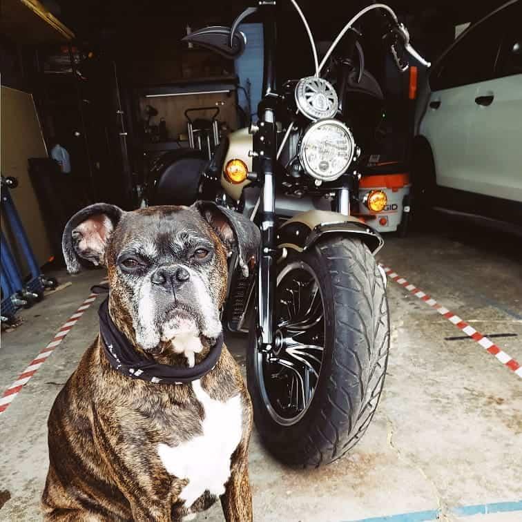Badass-looking Boxer dog