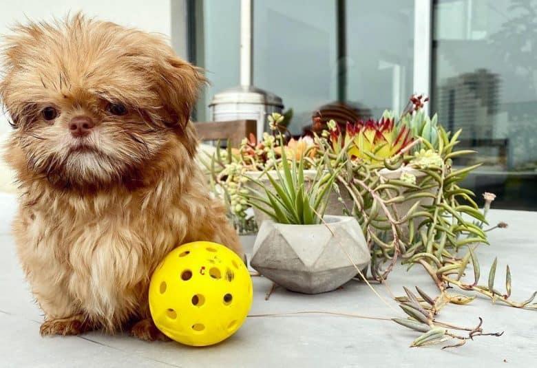 A Mini Shih Tzu puppy wanting to play ball