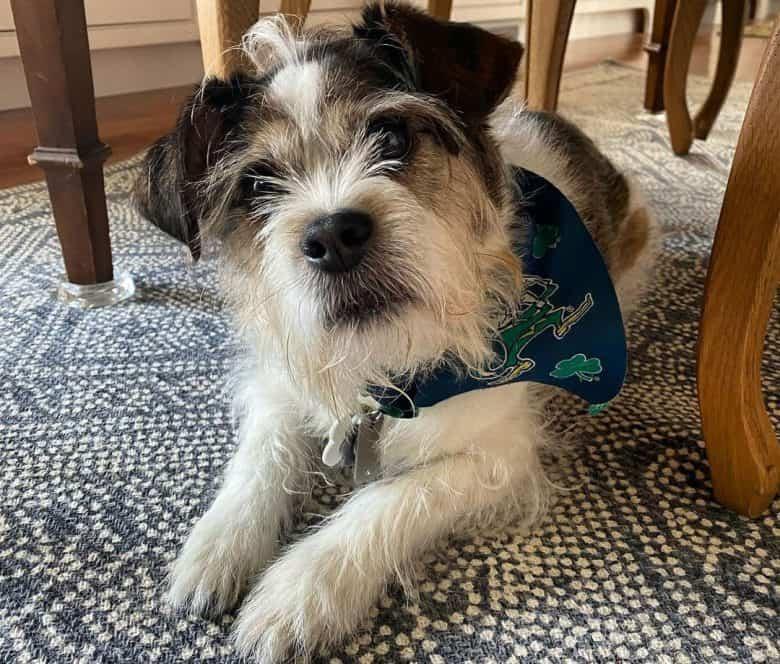 Beagle and Shih Tzu mix dog lying under the table