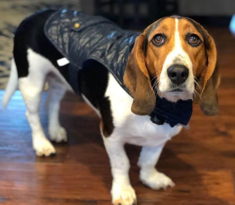 Beagle Basset mix dog wearing a vest