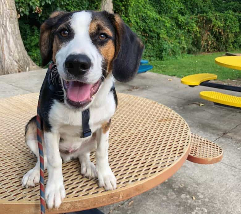 Beagle Border Collie mix dog sitting on the table