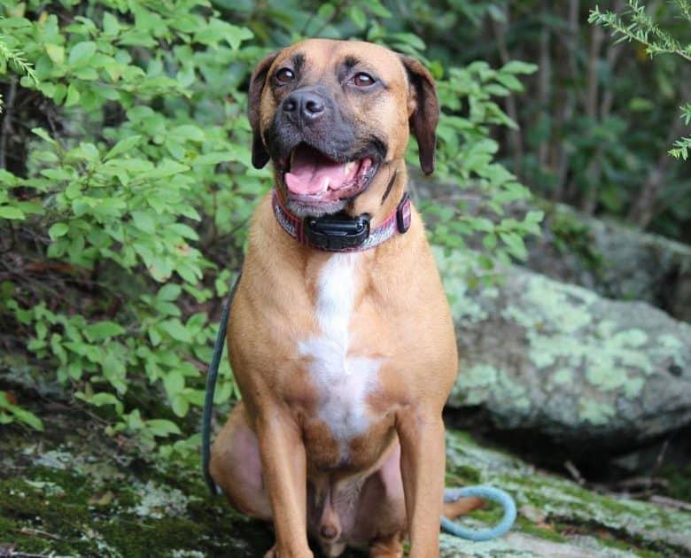 Beagle Boxer mix dog sitting on the nature