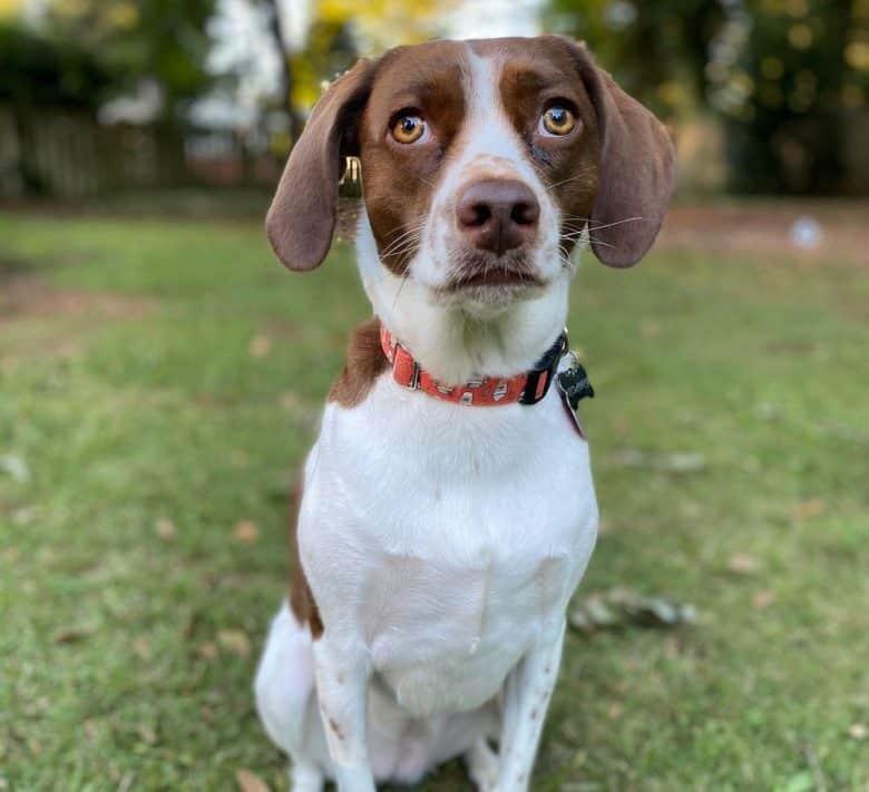 Beagle Brittany Spaniel mix dog portrait