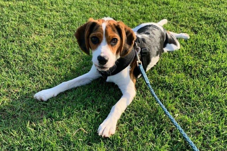 Beagle Cavalier King Charles Spaniel mix dog lying on the grass