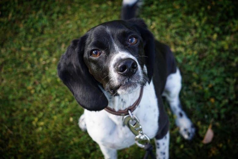 Beagle Cocker Spaniel mix dog portrait