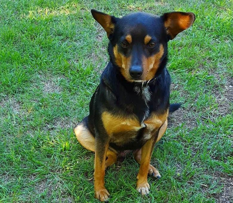 Beagle Doberman mix dog sitting on the grass