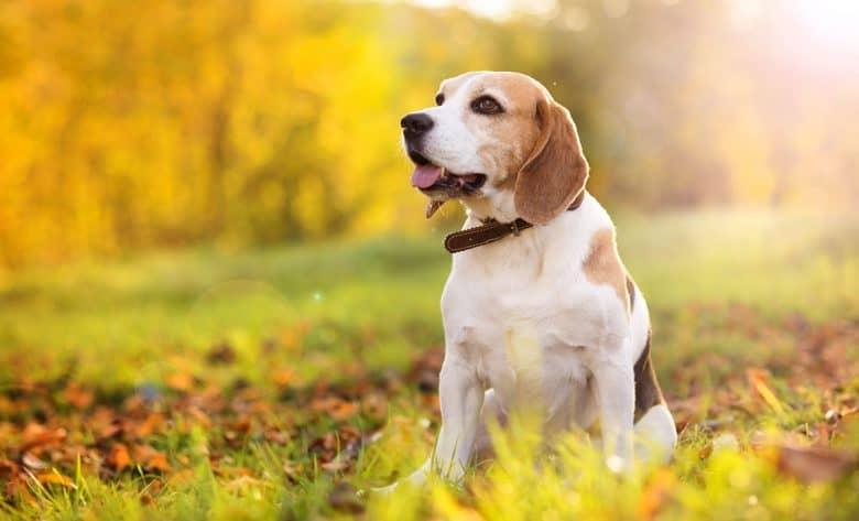 Beagle dog sitting on the nature