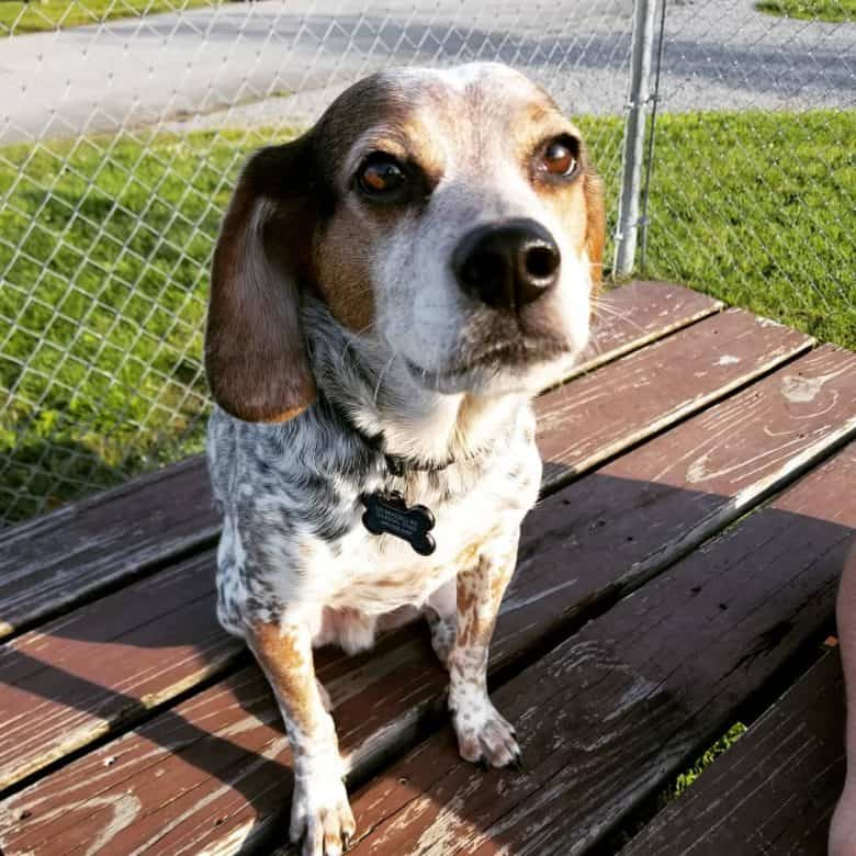 Beagle dog sitting on the wooden bench