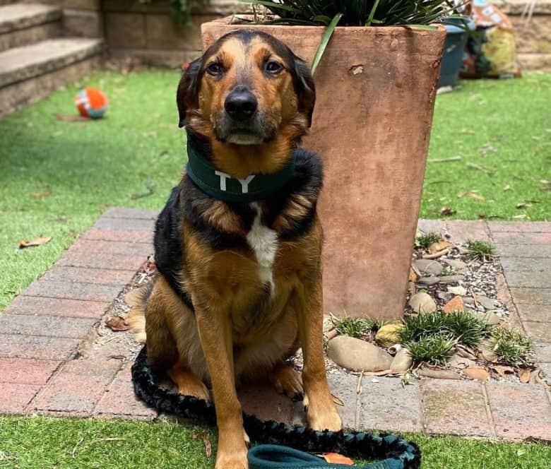 Beagle Golden Retriever mix dog sitting outside