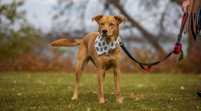 Beagle Husky mix dog standing on the field