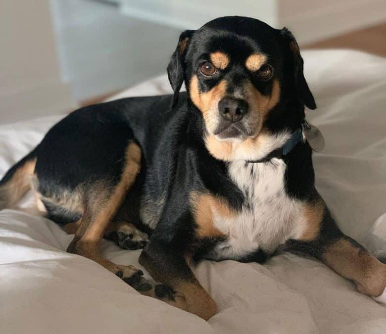 Beagle Miniature Pinscher mix dog lying on his bed