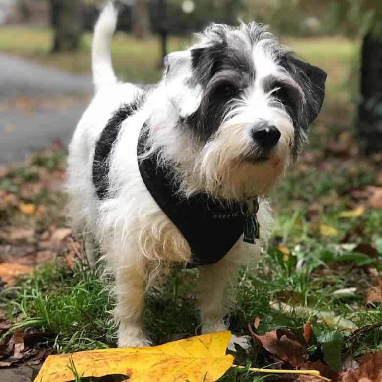 Beagle Miniature Schnauzer mix dog portrait