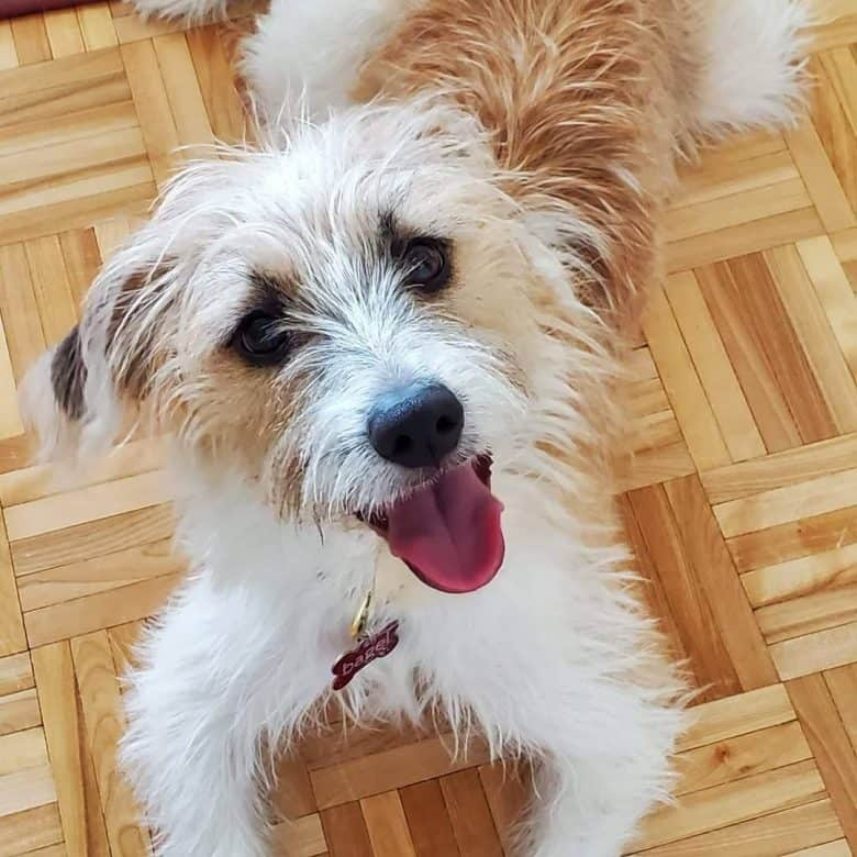 Beagle Shih Tzu mix dog portrait