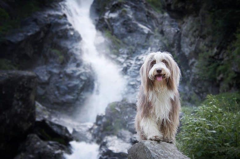 A Bearded Collie enjoying outdoor adventure