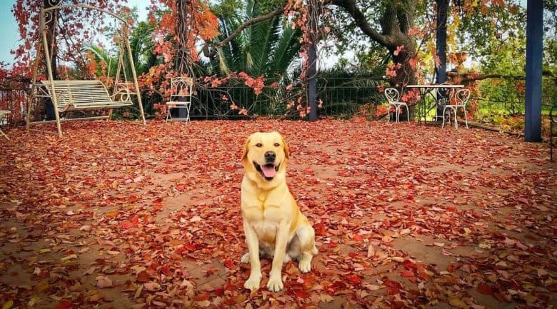 Labrador Retriever sitting in the outdoor patio full of red leaves