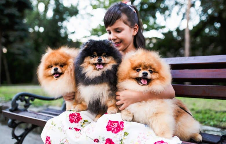 Beautiful little girl hugging three Pomeranian dogs