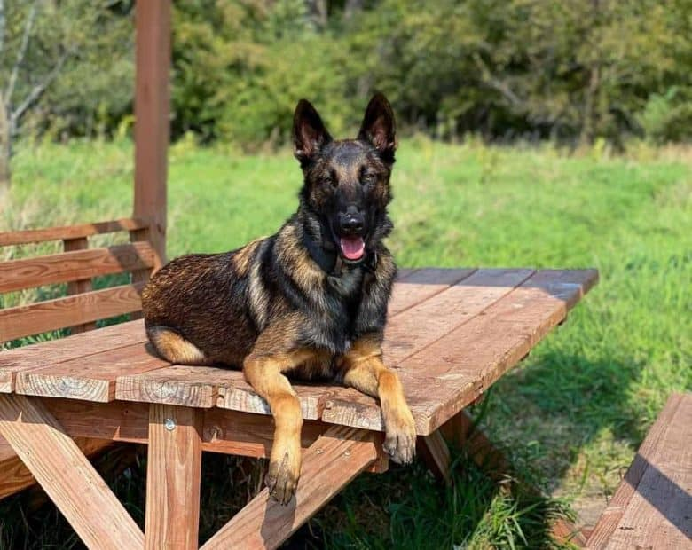Belgian Malinois German Shepherd mix sitting on a bench
