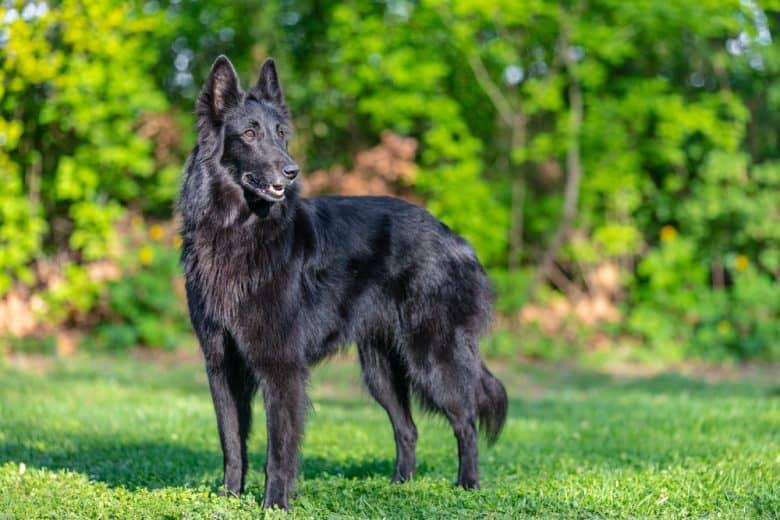 A black Belgian Sheepdog portrait