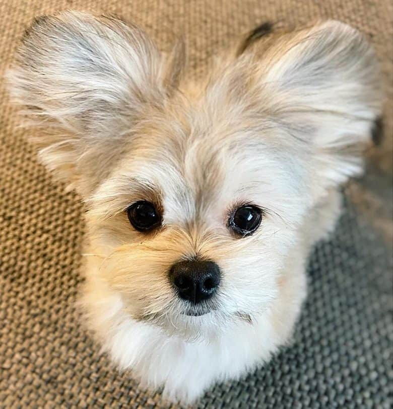 A Maltipom puppy with big ears