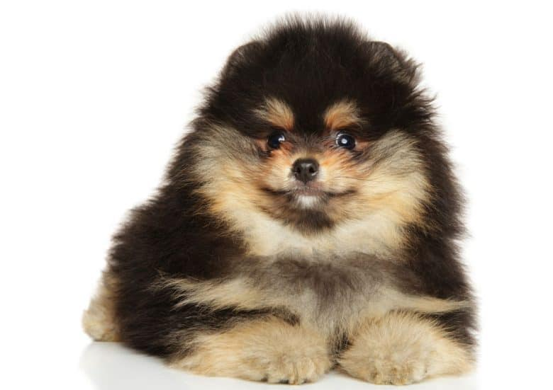 Black and tan Pomeranian dog portrait