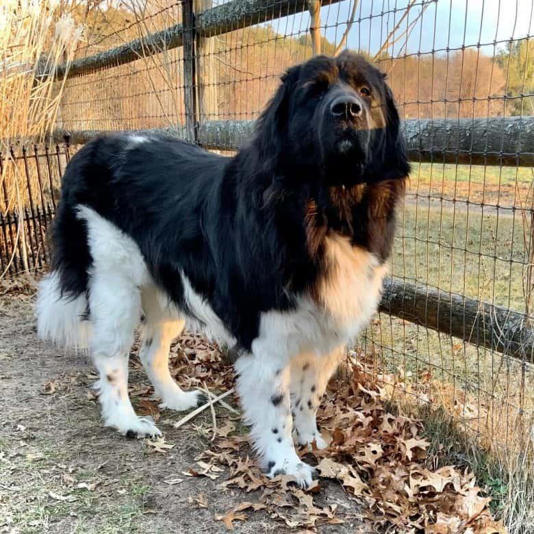 A black and white Landseer dog