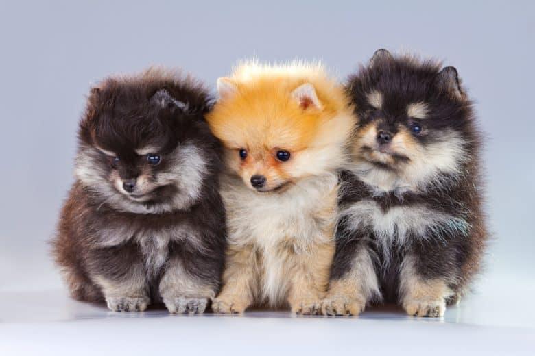 Pomeranian Tuft puppies sitting