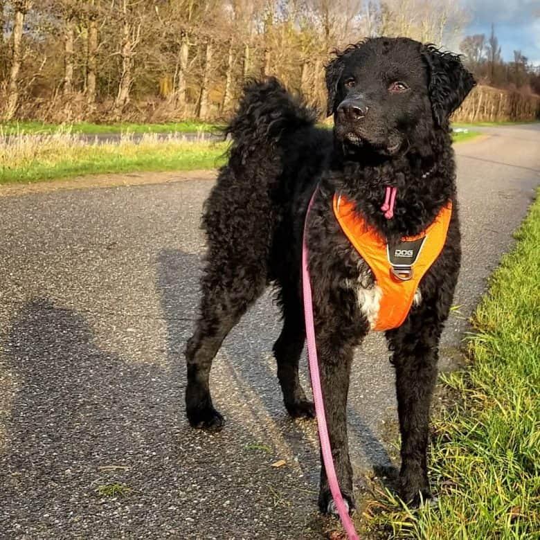 Black Friesischer Wasserhund dog standing and wearing dog harness