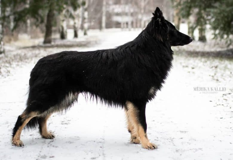 A German Shepherd Collie mix standing on a snowy road