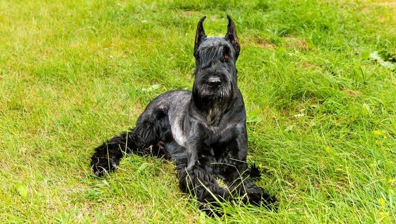 Black Giant Schnauzer lying on the grass