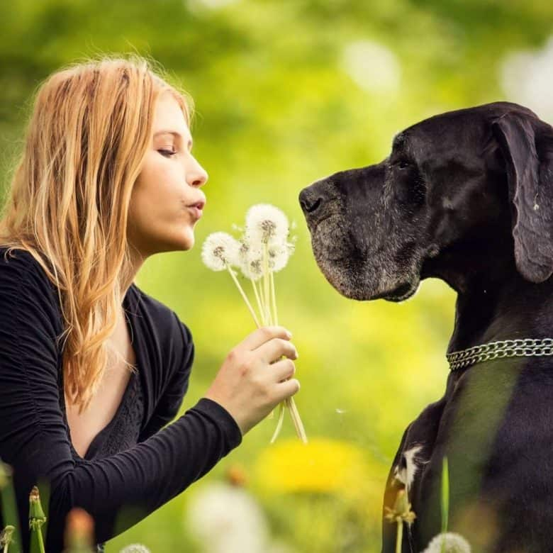 a black Great Dane looking at a woman blowing dandelion