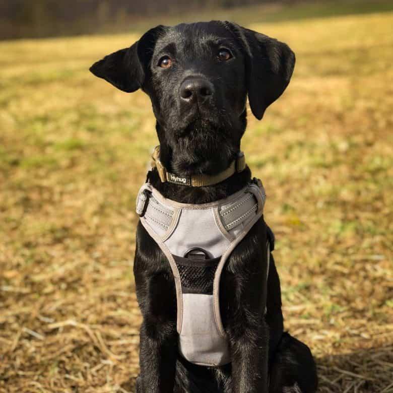 Black Labrador Pointer mix dog