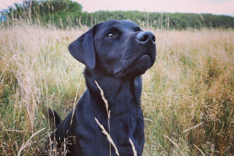 Black Labrador Retriever in the brushland