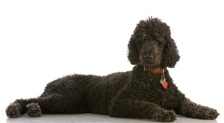 A black Poodle laying down with a white background