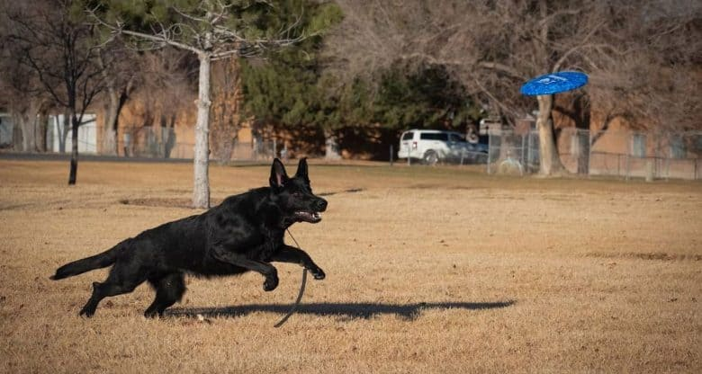 Black Shepherd in a Schutzhund training