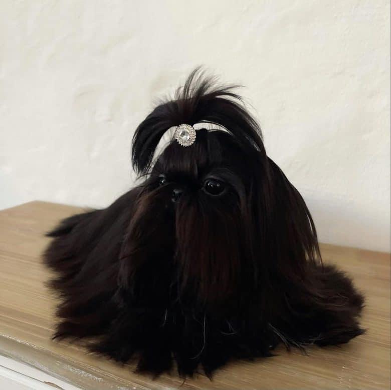 a black Shih Tzu wearing a white bejeweled tie