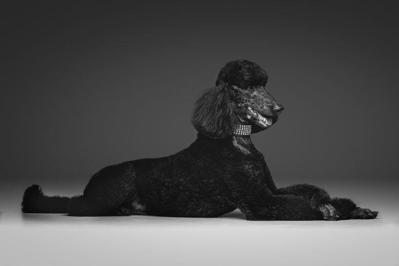 A black Standard Poodle laying on side profile