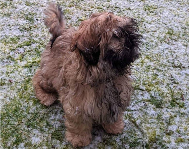 Black tip Shih Tzu dog enjoying the snow outside