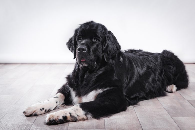 A Newfoundland dog laying on the floor