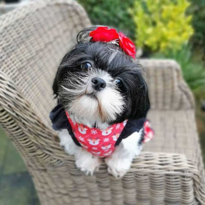 a black and white Shih Tzu wearing red flower hairpins and red bandana with reindeer print