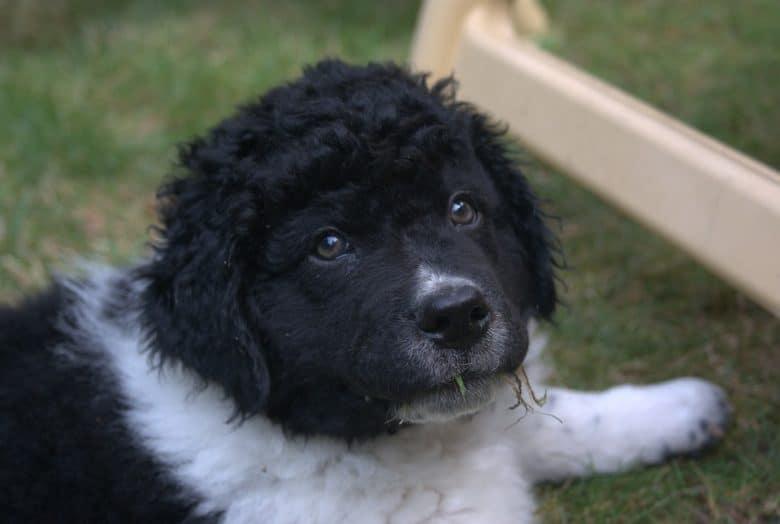 A black and white Wetterhoun puppy