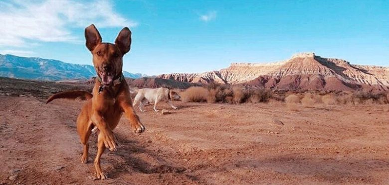 Bloodhound Lab mix playing in the desert