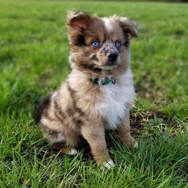 Blue eyed Aussie Pom sitting on grass