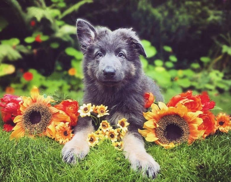 A Blue German Shepherd puppy with sunflowers