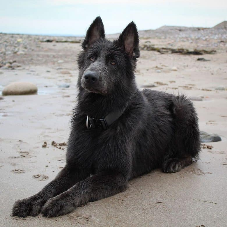 A wet blue GSD laying patiently on the beach