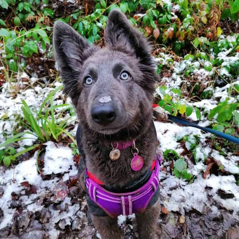A Blue GSD puppy looking up and enjoying a walk