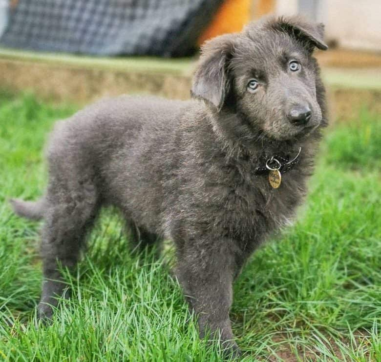 A Blue GSD puppy tilting its head for a picture